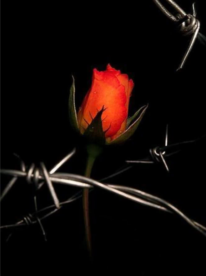 Kaulah Mawar Berduri Itu Diary Rose